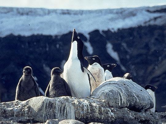 アデリーペンギンの画像 p1_20