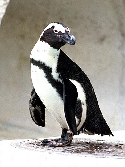 ペンギンの画像 p1_38