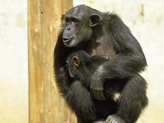 チンパンジーの画像 p1_29
