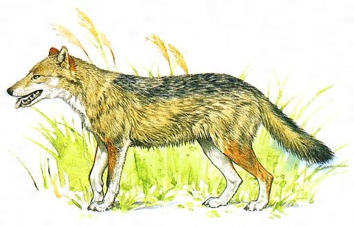 ニホンオオカミの画像 p1_23