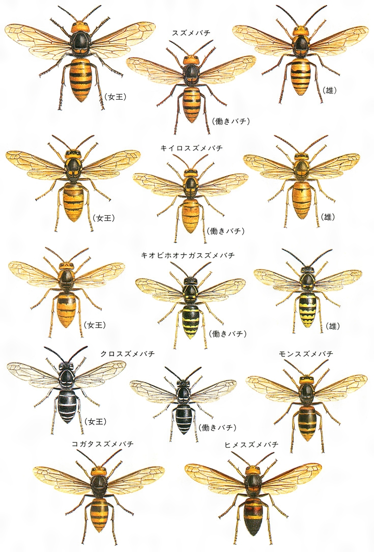 スズメバチの画像 p1_40