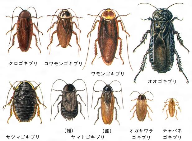 ゴキブリの画像 p1_26