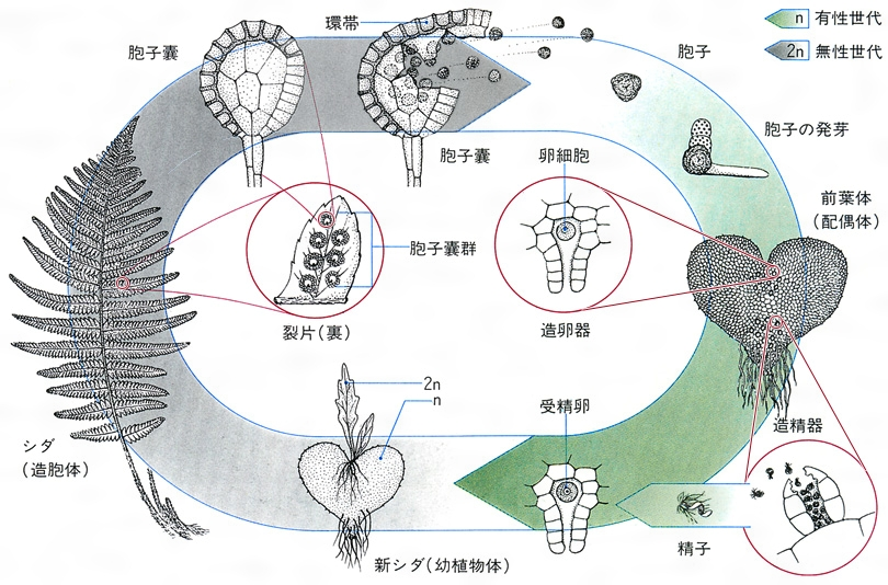 シダ植物のような快活サイクル シダ植物のような快活サイクルで、卵・幼虫・サナギ・成虫は、胞子・前