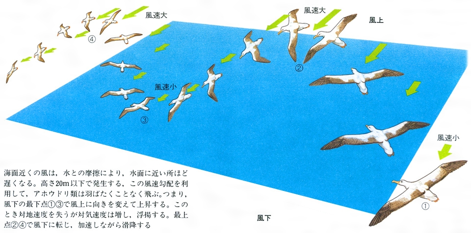 アホウドリの画像 p1_14