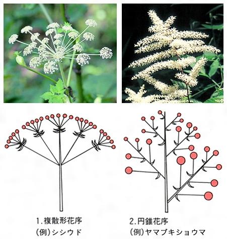 複花序 特定の植