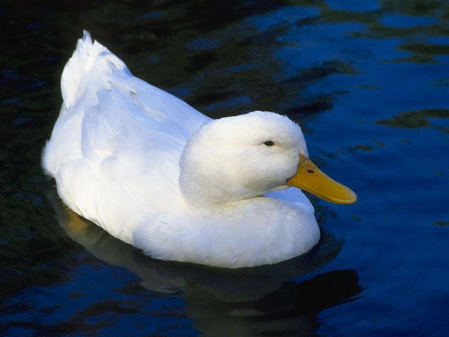 家鴨とは - コトバンク