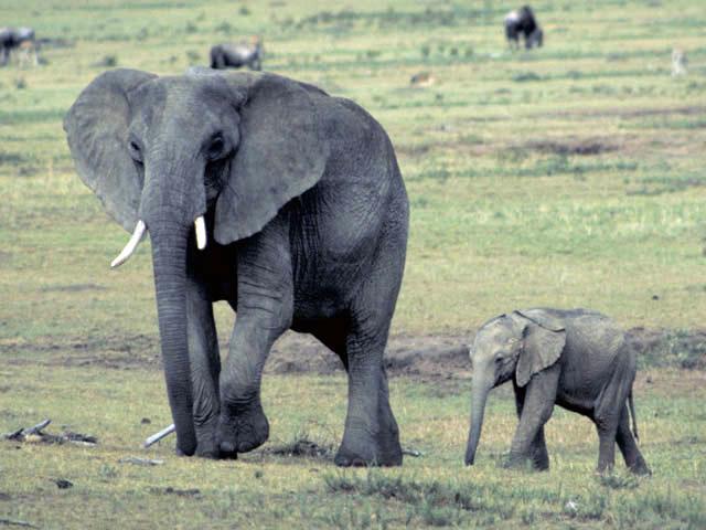 アフリカ象(アフリカゾウ)とは -...
