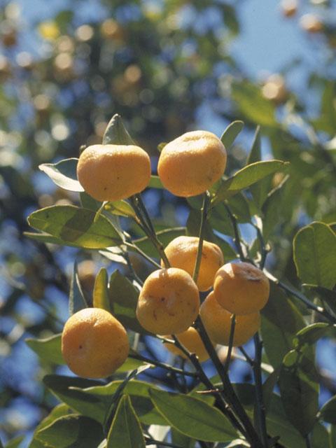 橘(たちばな)とは - コトバンク