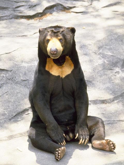 熊(クマ)とは - コトバンク