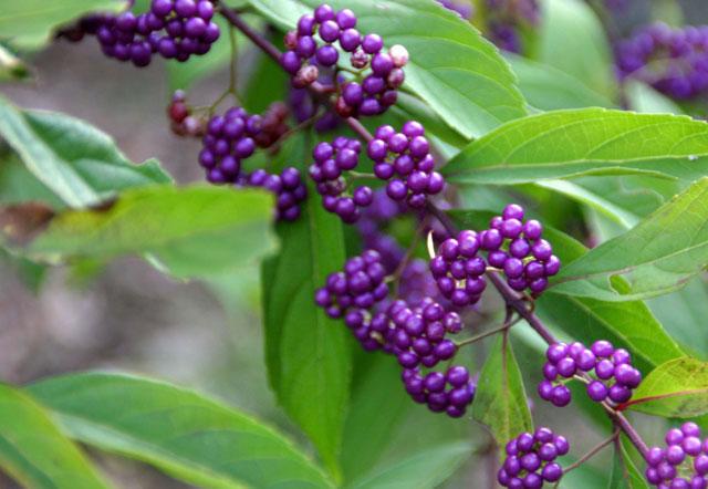 紫式部 コムラサキ