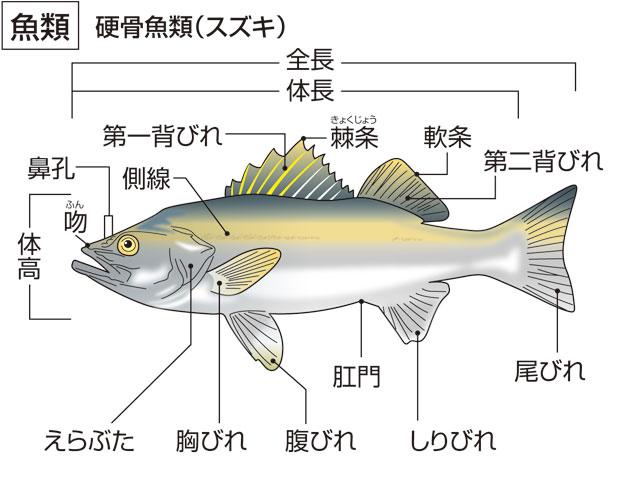 魚類(ぎょるい)とは - コトバン...