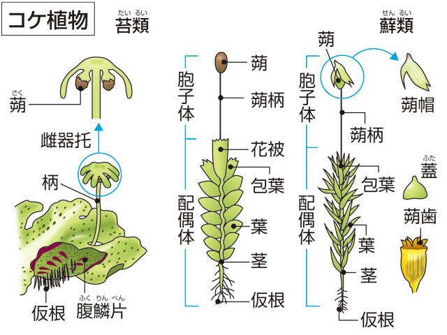 苔植物(コケショクブツ)とは - ...