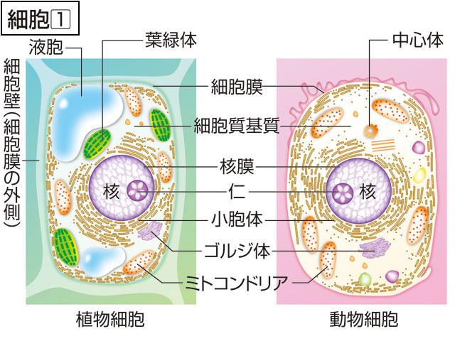 細胞(さいぼう)とは - コトバン...