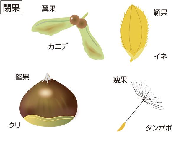 穎果(読み)えいか(英語表記)grain; caryopsis