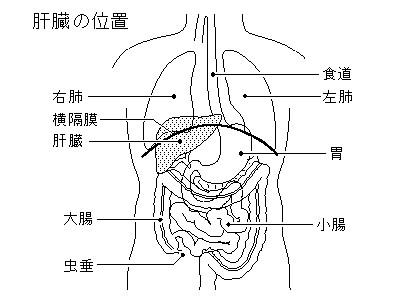 横隔膜臓器 に対する画像結果