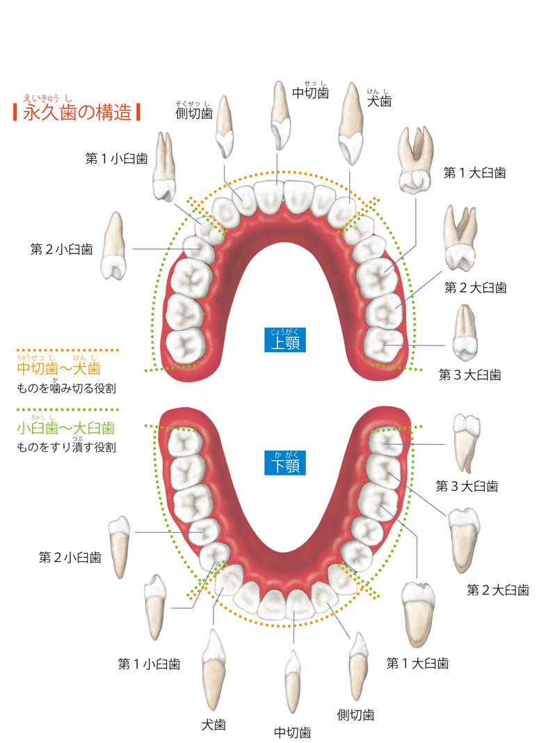 口腔の構造と役割