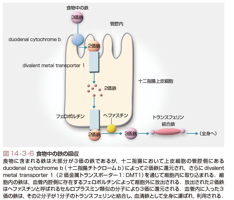 赤血球(読み)せっけっきゅう(英語表記)erythrocyte,red blood cell; RBC