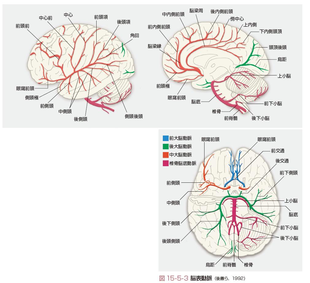 大脳 領域 動脈 中 右
