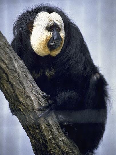 猿のシロガオサキ