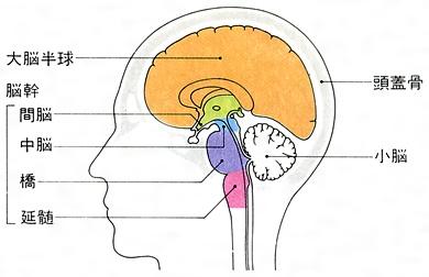 「間脳」の画像検索結果