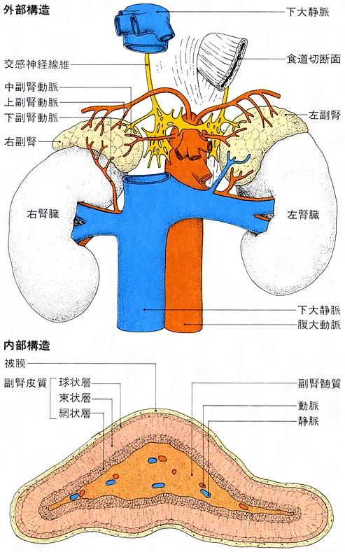 副腎(読み)ふくじん(英語表記)adrenal glands