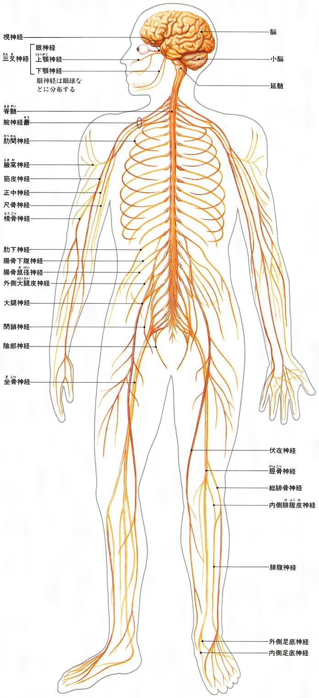 神経とは - コトバンク