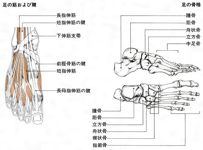 骨 の 名前 足 の 人間の骨格名称(骨の名前)・読み方 主たる関節の構造と周辺筋肉の鍛え方│【公式】公益社団法人 日本パワーリフティング協会