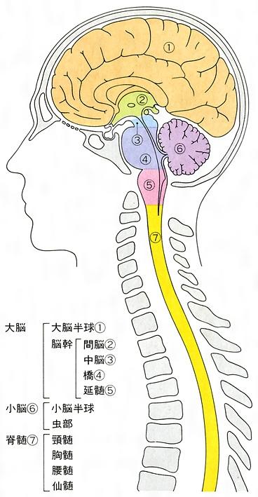中枢神経系(ちゅうすうしんけいけい)とは - コトバンク
