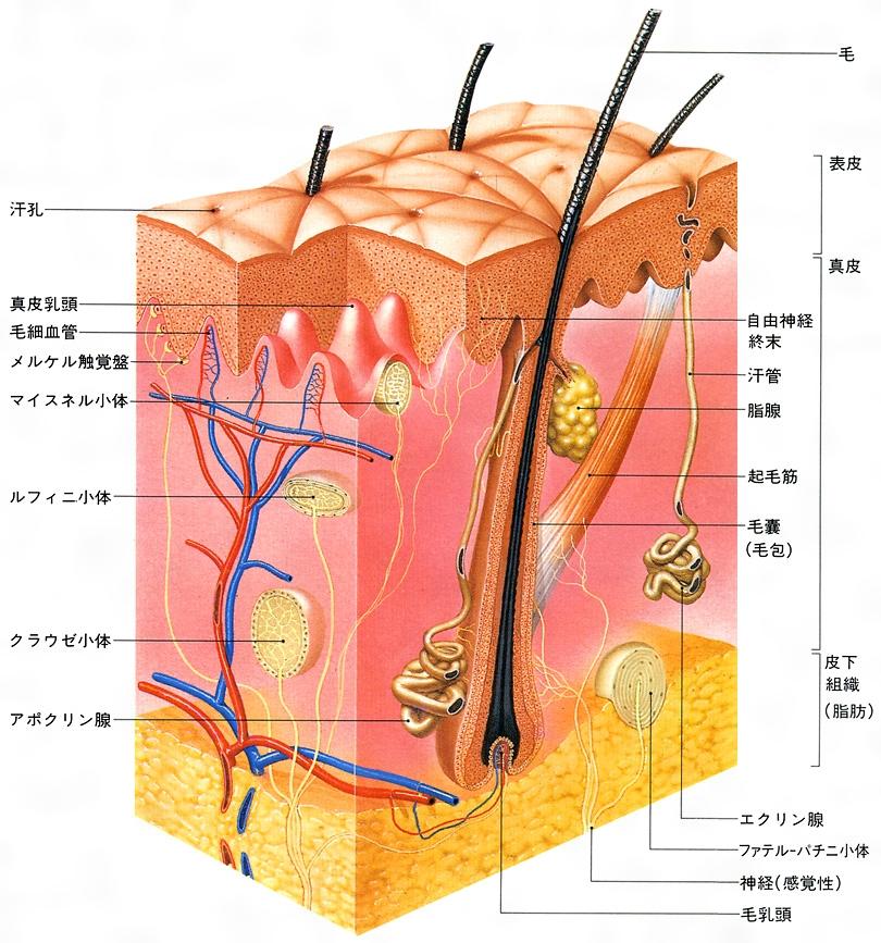 腺 腺 エクリン アポクリン