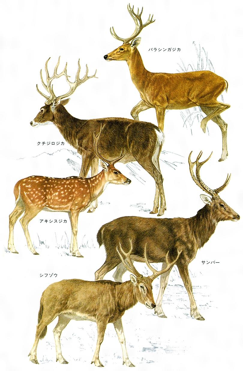 シカ(英語表記)Cervidae; deer
