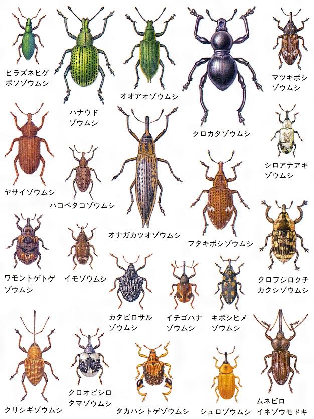 ゾウムシのおもな種類〔標本画〕