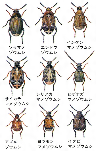 マメゾウムシのおもな種類〔標本画〕