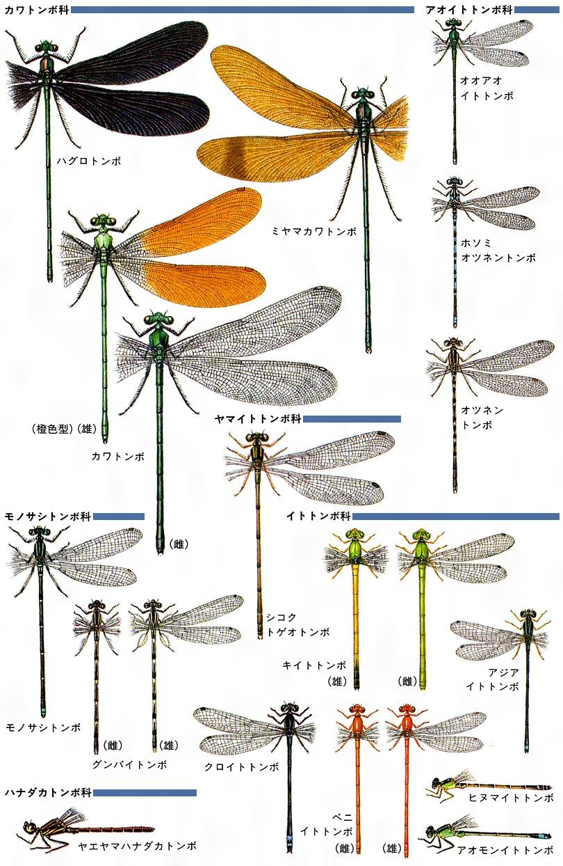 イトトンボ 種類