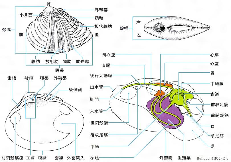 貝類(読み)かいるい(英語表記)shell-fish