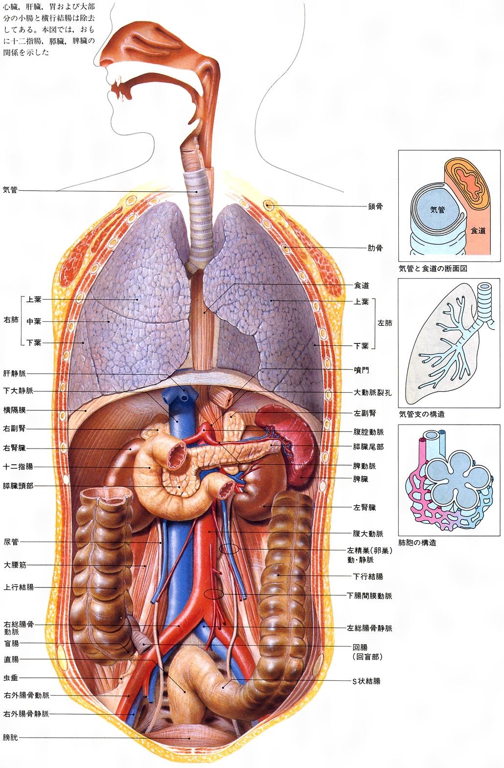人体の内臓の位置の図はありませんか?病気のとき …