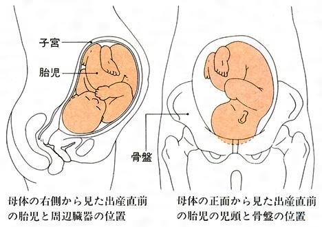 「出産時の骨盤」の画像検索結果