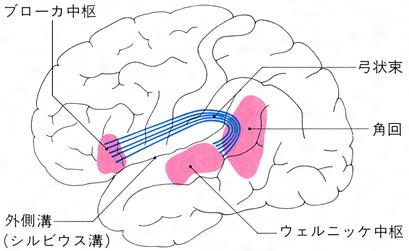 連合線維:弓状束